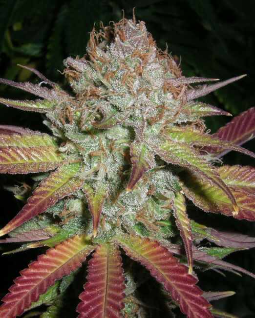 Grapefruit Diesel crop